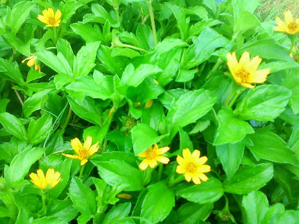 Jual bunga jepetan kuku | aneka tanaman | suplier tanaman | jasa desain taman