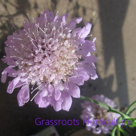 Dipsacaceae Teasel Family