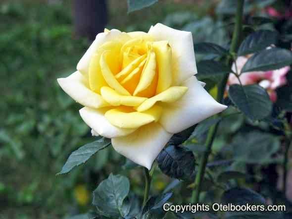 Roses - Botanical Garden in Minsk