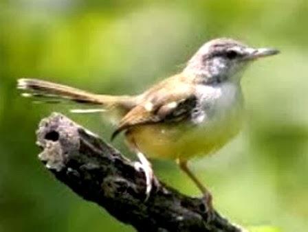 Daya Tarik dan Ciri-ciri Burung Ciblek Yang Baik | Tanaman ...