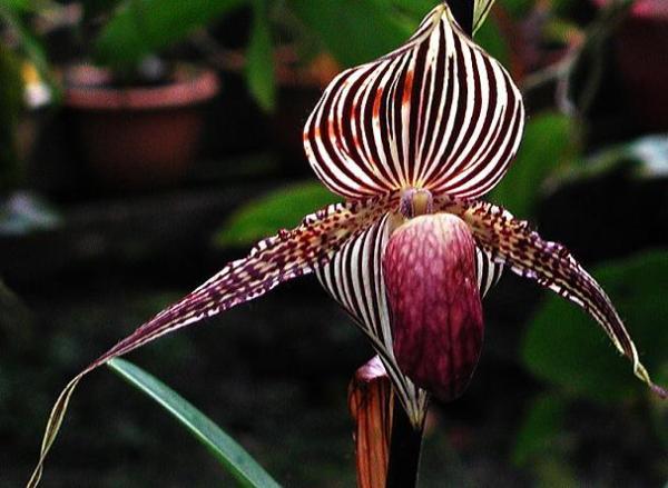 Фото самых дорогих орхидей