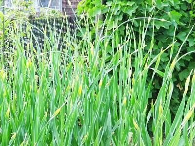 Babington leeks in late spring