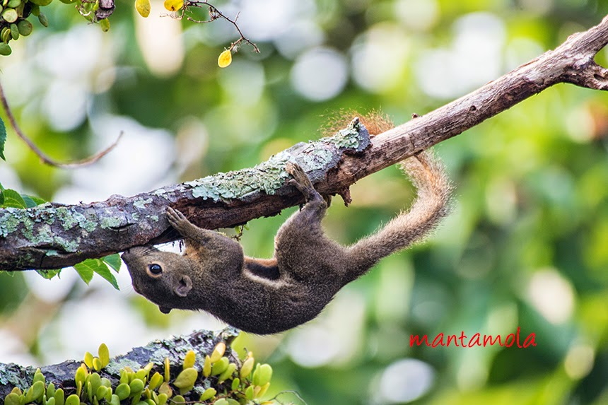 Plantain Squirrel ( Callosciurus notatus )