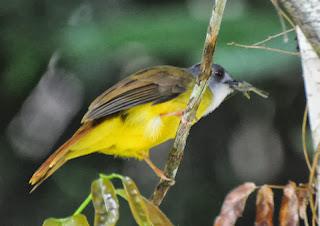 Yellow-bellied Bulbul (Alophoixus phaeocephalus)