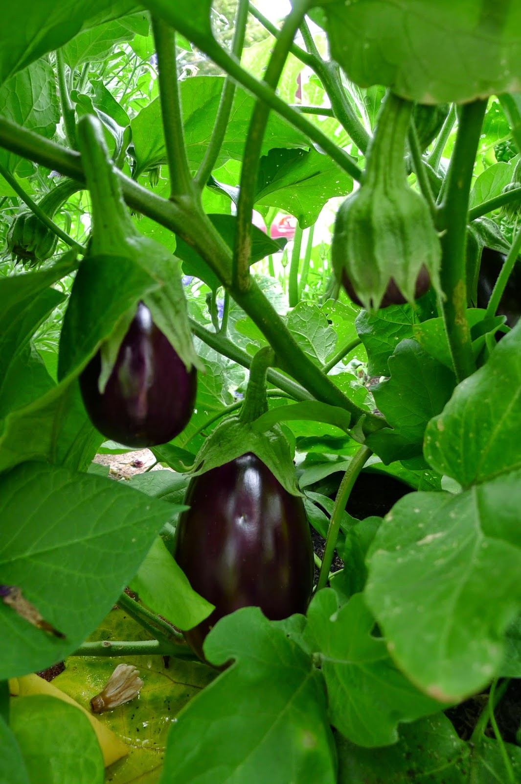 Less Noise, More Green Edible Landscape Project: Black Beauty Eggplant, Solanum melongena,annual, vegetable