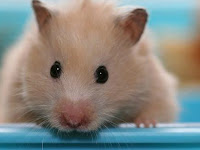 Cara Merawat Hamster Tua