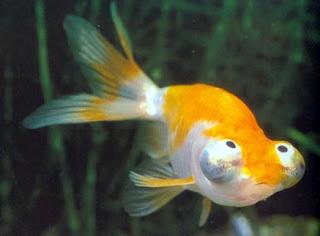 Celestial Eye/Choten gan Goldfish