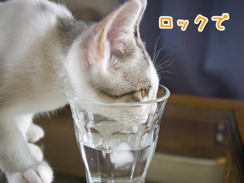 氷水が好きな子猫