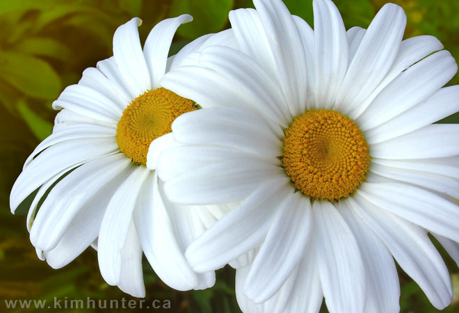 Http Hd Desktopwallpaper Blogspot Com 2011 11 Daisy Wallpaper Html