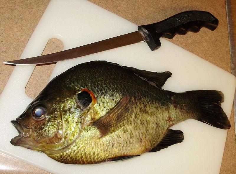 Blue gill on lake okeechobee the okeechobee bass fishing for Shell cracker fish