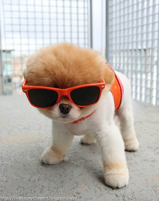 Dog in sunglasses.