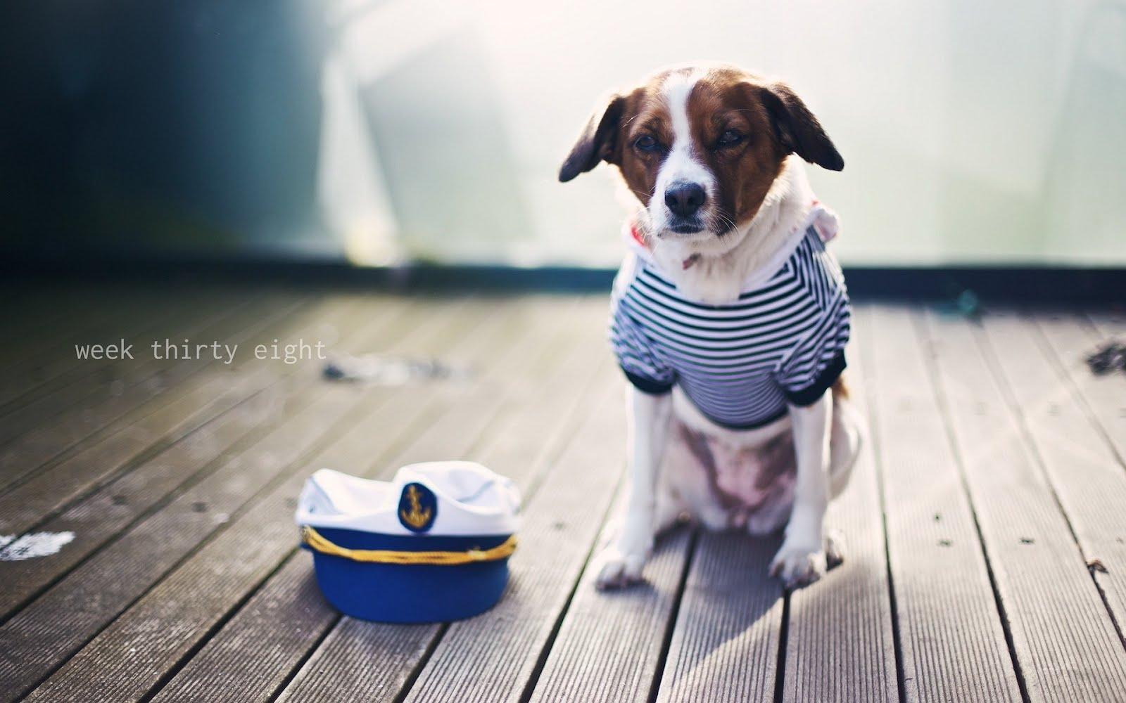 Моряк с опашка / Sailor Dog, HD Wallpaper