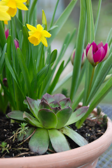 Tulip 'Persian Pearl', Narcissus 'Tete-a-tete' and purple-tipped Hens & Chicks (Echeveria)... I love the pointed tulip and hen together.