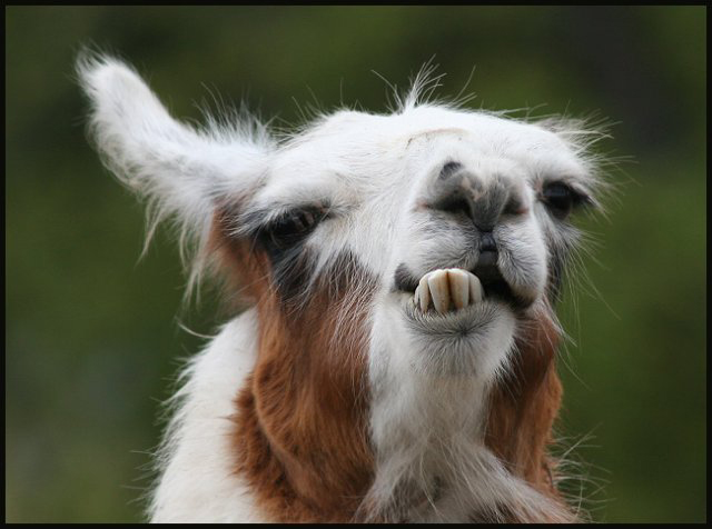 Hilarious Llama Pictures Funny Llama pictures ~...