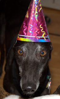 Bettina greyhound in birthday hat