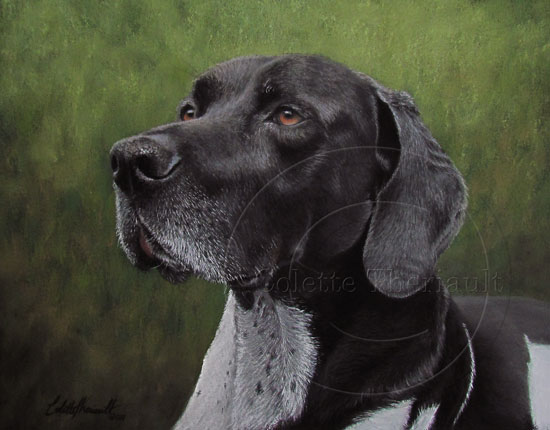 German short haired pointer portrait in pastel