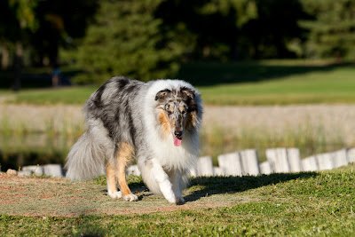 Woody 6 >Woody {Rough Collie}