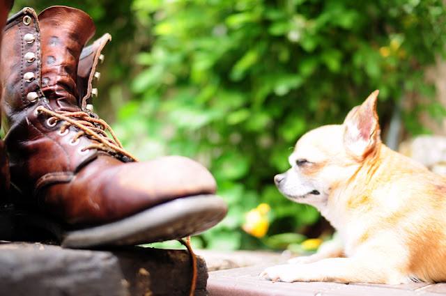 Boots and Chihuahua