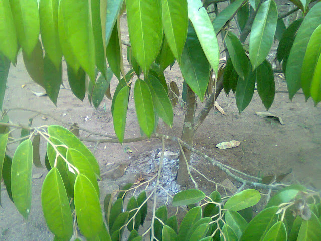 Tanaman Durian Sitokong Hasil Cangkok Batang