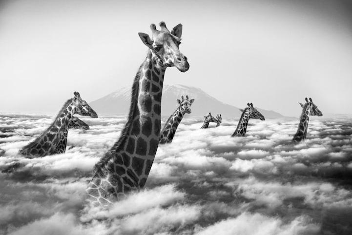 cuellos y cabezas de varias jirafas encima de las nubes
