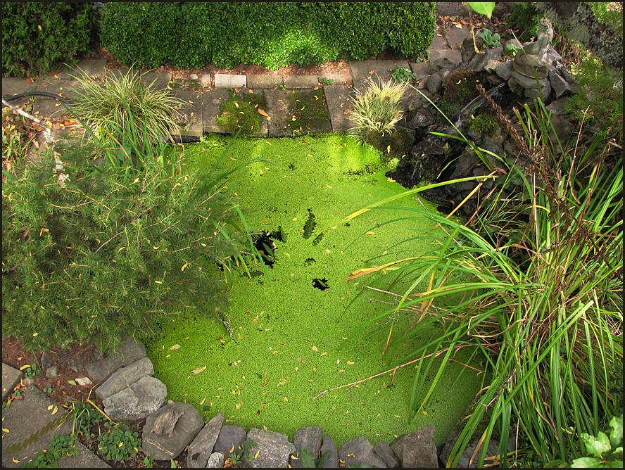 My garden october 2011 for Garden pool duckweed