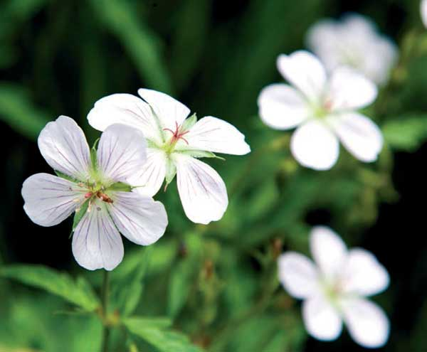 Güzel ve zarif çiçek - ampel Pelargonium 9
