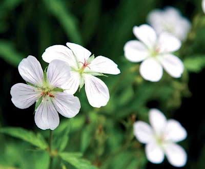 Güzel ve zarif çiçek - ampel Pelargonium 64