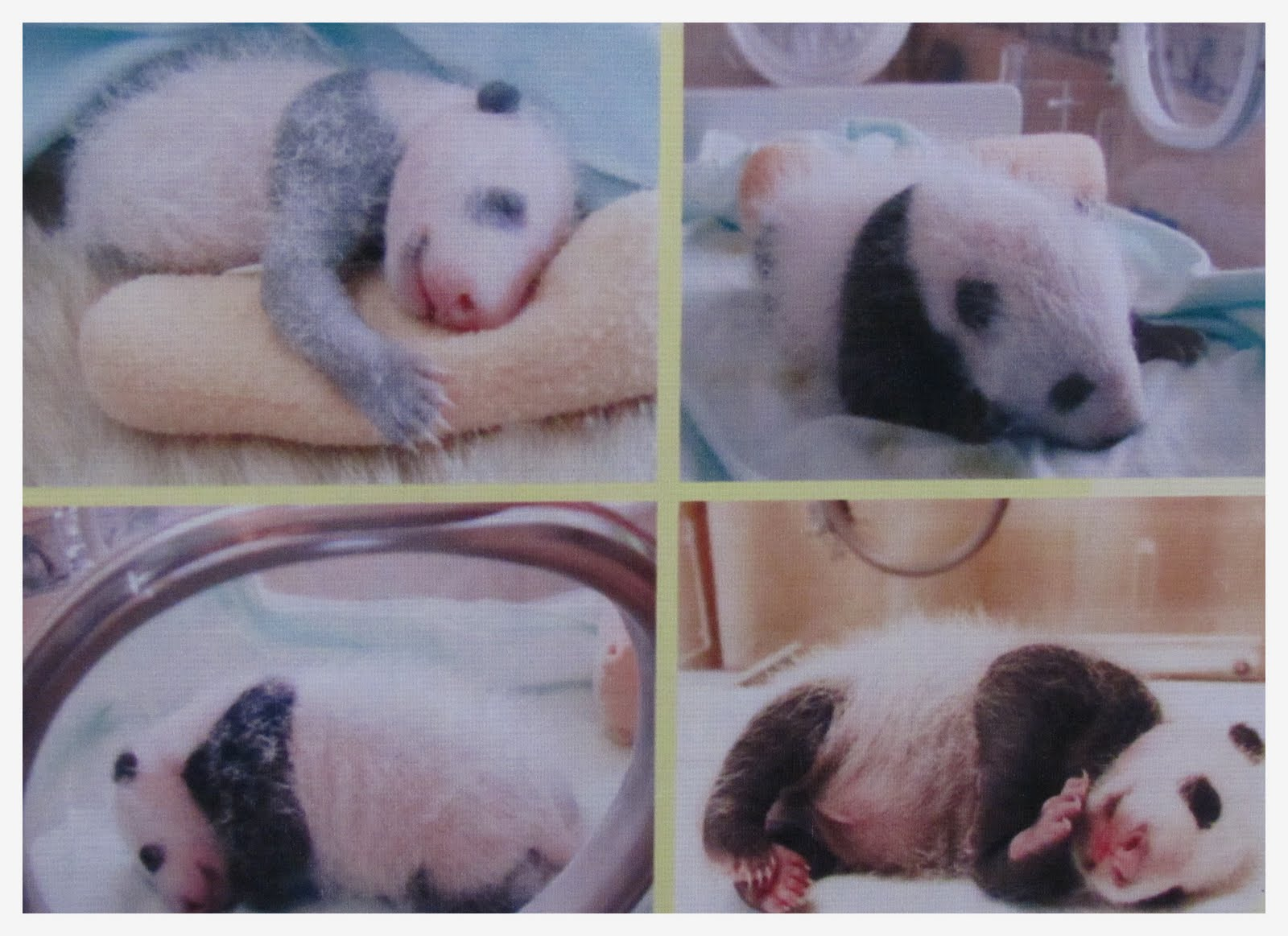 endless life photo essay panda s size when they are born is around 15 to 17 cm in length and 4 5 to 5 2cm for the tail other than that for their body weight it is around 36