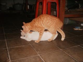 Kucing Kawin atau Gandikan