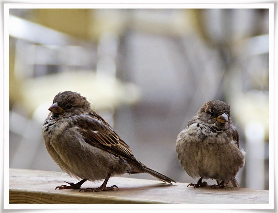 Småfåglar bevakar fikaborden
