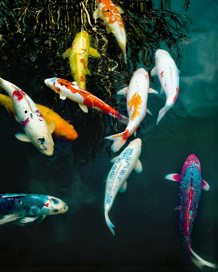 I spy animals the fish that lived for 226 years for Oldest koi fish