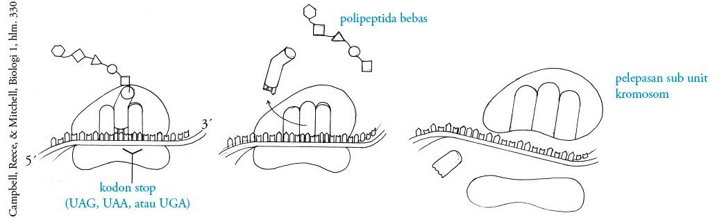 Proses dan tahapan sintesis protein pengertian replikasi terminasi translasi ccuart Images