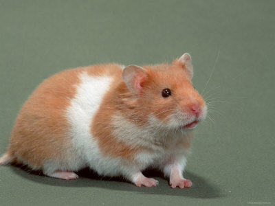 Caring For Pet Hamsters Your Stuff Work