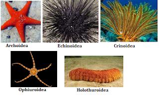 Echinodermata (Pengertian, Ciri-Ciri, Klasifikasi, Reproduksi, & Peranan)