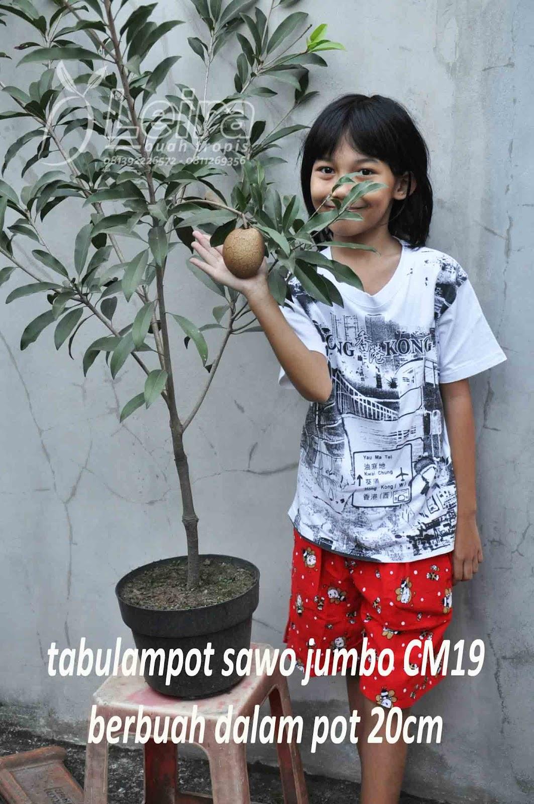 sawo jumbo cm19 tetap berbuah jumbo meski hanya ditanam dalam pot ...