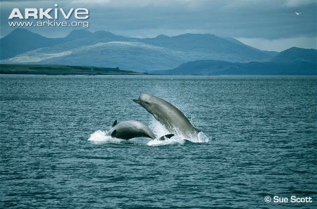 North bottlenose Whale