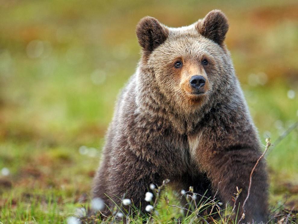 Brown Bear Wallpapers