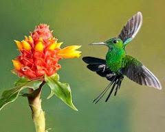 Mi sublime colibrí