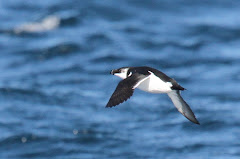 My Lifer Razorbill! Photo taken by Jeff Byrd