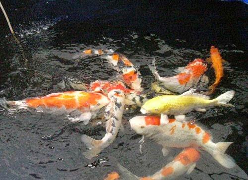 Peluang Bisnis Budidaya Ikan Hias