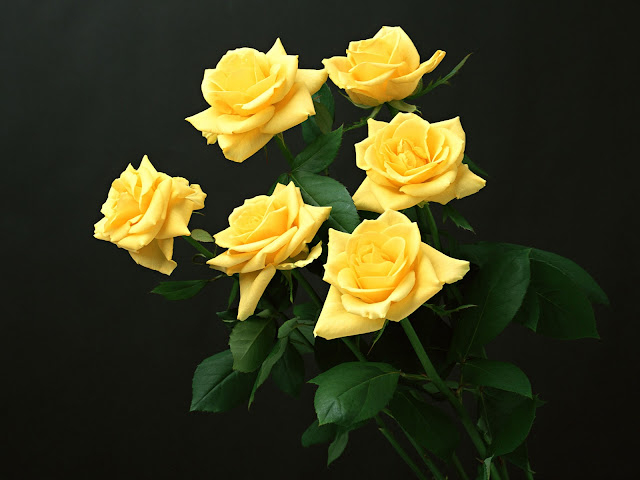 Beautiful Yellow Roses Flowers Collections 20