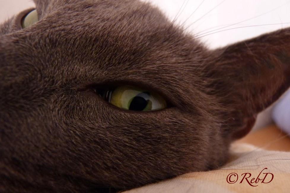 Grått kattansikte i närbild, fokus på ett öppet grönt öga. foto: Reb Dutius