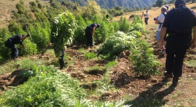 4 Tons of Marijuana Exterminated in Tepelenë