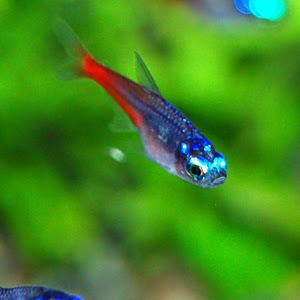 Freshwater frenzy types of neon tetra for Neon tetra fish