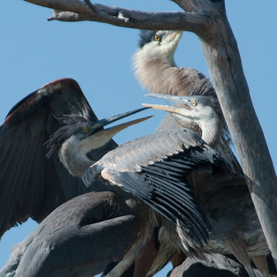 Fledgling Great Blue Herons, Kountze Lake