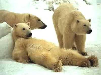 oso ocioso