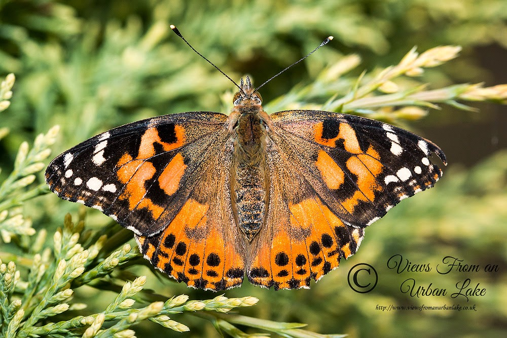 Painted Lady (captive bred - will replace once I photograph a wild one) - Great Holm, Milton Keynes (2014)