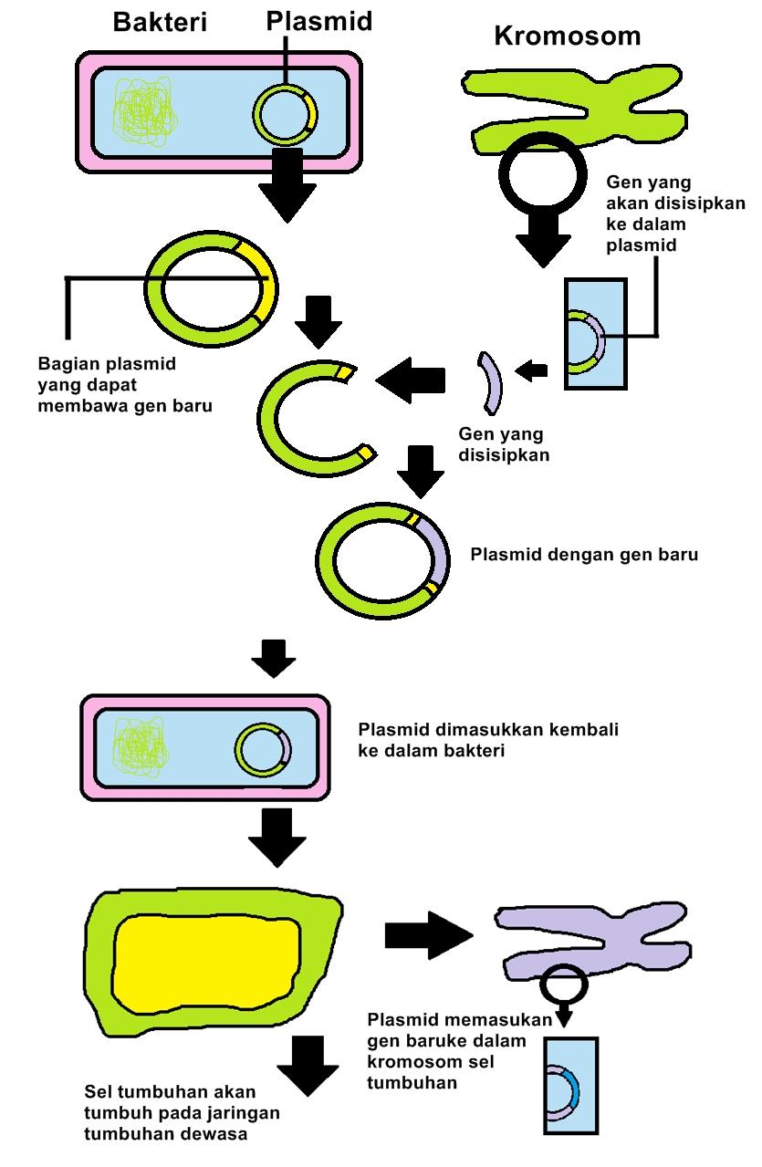 hewan transgenik Tanaman transgenik adalah tanaman yang telah disisipi atau memiliki gen asing dari spesies tanaman yang berbeda atau makhluk hidup lainnya hewan, cendawan.