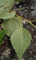 Betula - Birch Leaves Underside