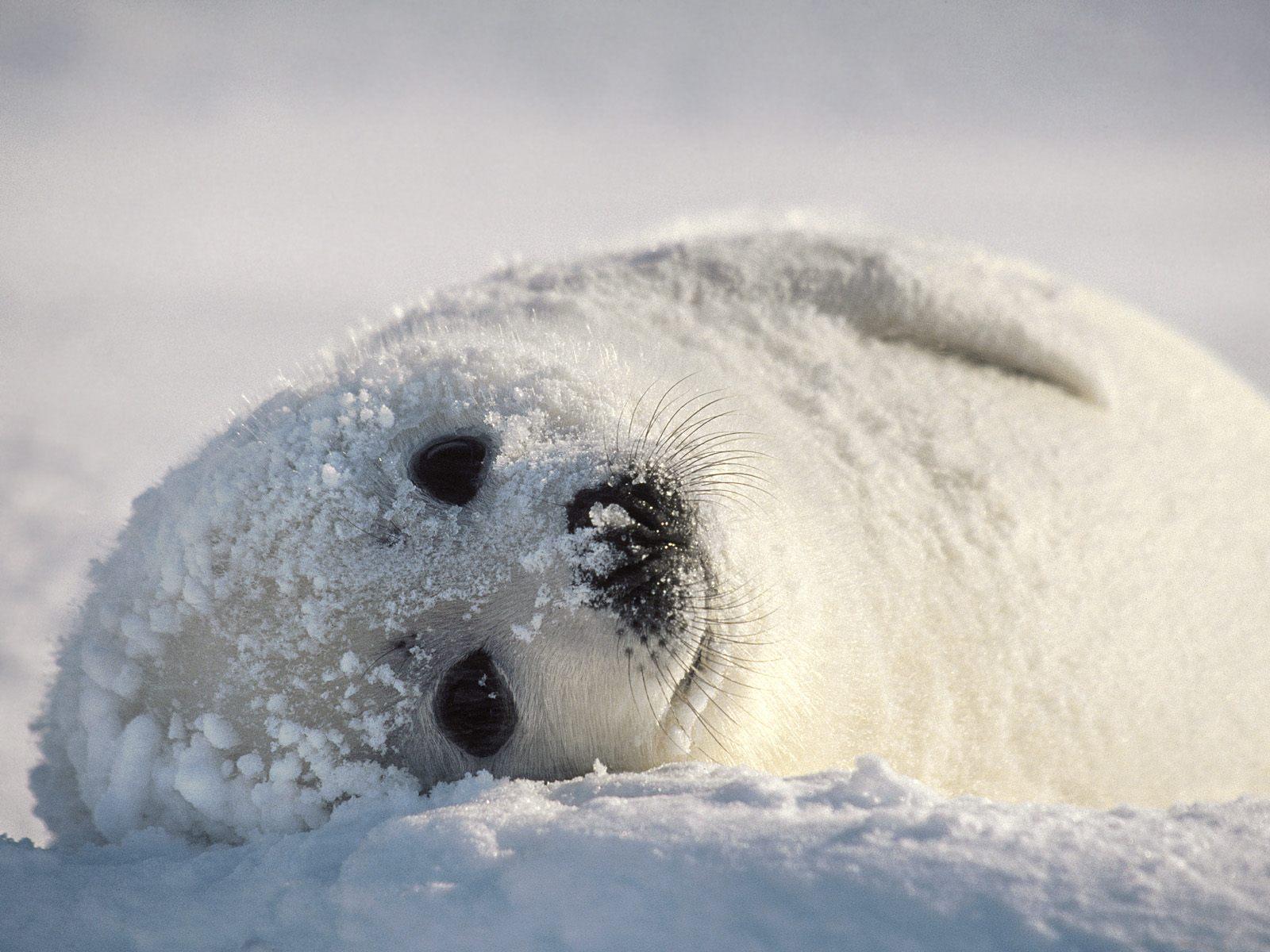 Cute B Harp B Seal